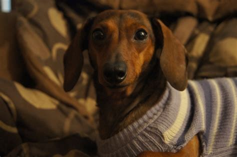 dachshund sweater for a sleeveless sweater the only sweater for dachshund arms it s a wienerful