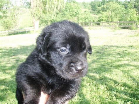 golden retriever puppies black golden retriever black golden retriever puppies