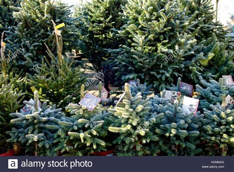 super blue spruce norway spruce christmas trees for sale