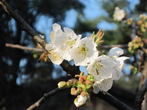 fiori albicocco photos piante fiori di albicocco fiori di