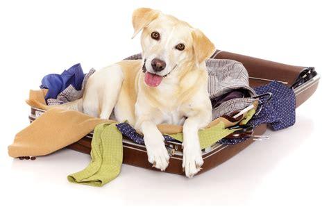 havanese puppies kansas city area image gallery happy with suitcase
