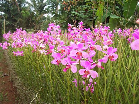 Pupuk Yang Bagus Untuk Bunga Anggrek vanda doglas