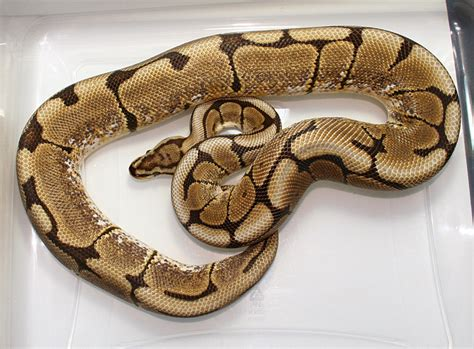 spider ls for sale available pythons mojave spider hypo woma het