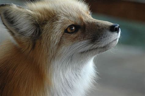 can i have a pet fox popular science
