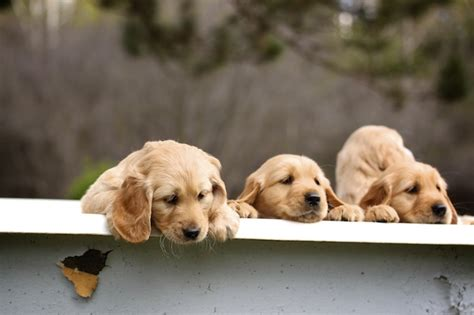 golden cocker retriever uk the 25 best golden cocker retriever ideas on golden cocker spaniel