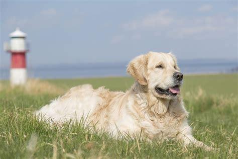 golden retriever webbed breeds that the