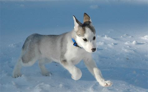 husky puppies puppies images siberian husky puppy hd wallpaper and background photos 15897208