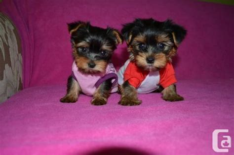 tiny teacup yorkies for sale in teacup tiny yorkie puppies for adoption for sale in oka classifieds