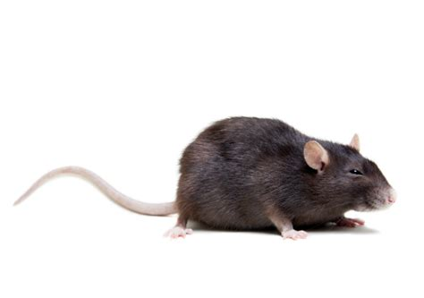 get rid of rats mice rodent pest control