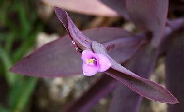 Pflanzen Für Schattige Standorte by Tradescantia Pallida