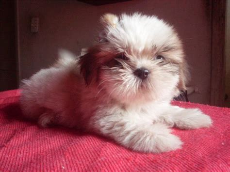 what is the lifespan of a shih tzu what is the average lifespan of a shih tzu auto design tech