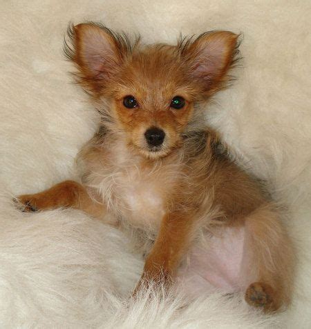 yorkie chihuahua mix personality 47 best images about youthful yorkies on