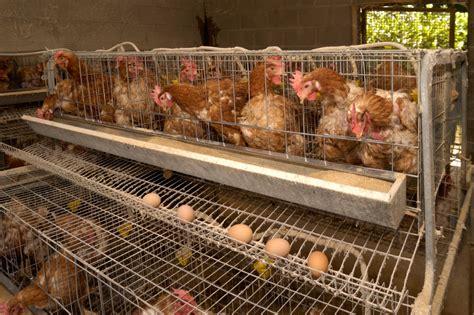 femmine in gabbia cleo pires faz apelo contra o uso de gaiolas na produ 231 227 o