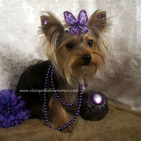 puppies for sale yorkie 24 best teacup yorkies images on teacup yorkie yorkies and