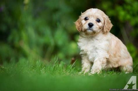 cavapoo puppies for sale florida mixed breed beautiful cavapoo puppy for sale in braden river florida classified
