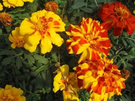 marigolds shade online plant guide tagetes patula maravella