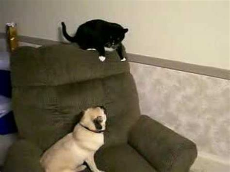 pug cat pugs vs cat funnycat tv