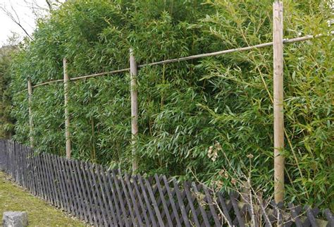 bambus hecke schneiden bambushecken sorten und pflanzabstand bambus und