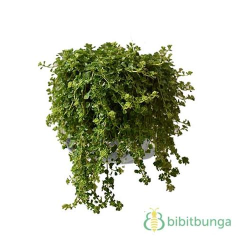 tanaman smokey green leaf petasan bibitbungacom