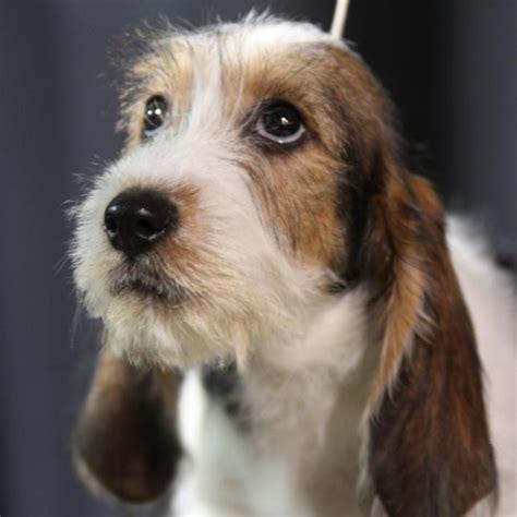 pbgv puppies 1000 images about petit basset griffon vendeen pbgv quot just for words quot on