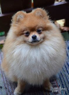 do pomeranian puppies shed pomeranian terrier mix do pomeranians shed breeds picture