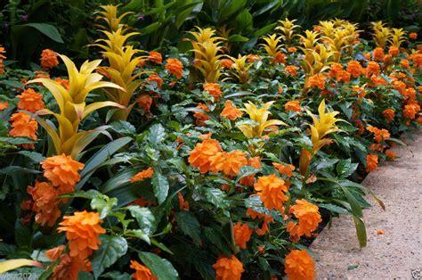 crossandra seeds orange marmalade firecracker flower