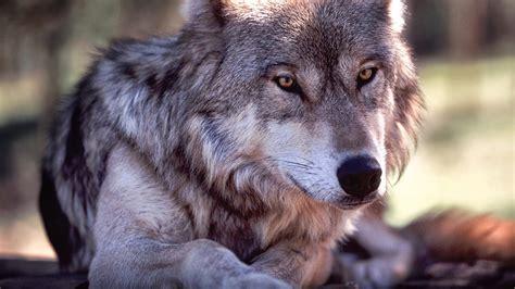 fondos de pantalla de lobos en movimiento fondos de pantalla fondos para escritorio de lobos fondos de pantalla