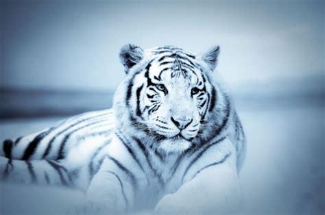 imagenes en 3d de tigres de tigres blancos en 3d imagui