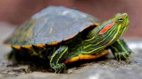 red eared slider turtle facts habitat diet pet care pictures