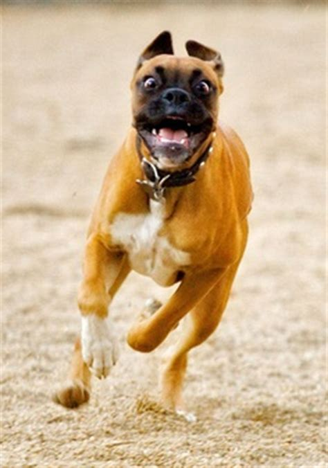 how fast can dogs run how fast can a boxer run many