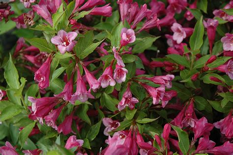 minuet weigela weigela florida minuet in st michael