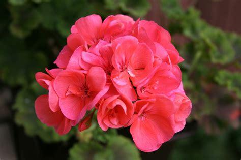 fiori geranio piante da balcone geranio e tris fioriti