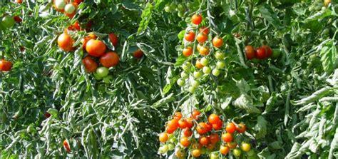 Krautf Ule Bei Tomaten 2352 braunf 228 ule tomaten bek 228 mpfen braunf ule an tomaten bek