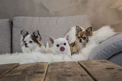 top 10 foods for puppies best foods for chihuahua pets