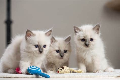 best food for shedding best cat food for shedding 3 awesome solutions to cat problems tinpaw