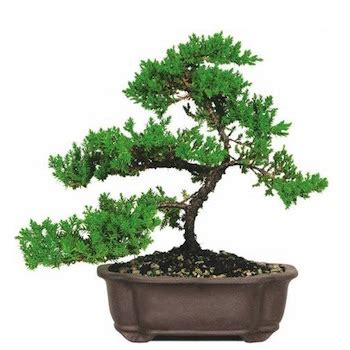 potatura azalea in vaso orienta 231 245 es de cuidados para bonsai de jun 237 pero bonsai