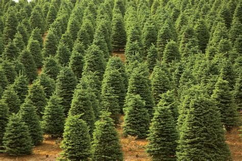 farm facts about christmas trees