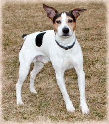 the dog house brighton mi all about the mountain feist dog its temperament and more dogs and pets but