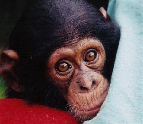imagenes comicas de monos las mejores fotos de monos im 225 genes de simios