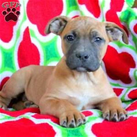 boerboel puppies for sale in pa boerboel puppies for sale greenfield puppies