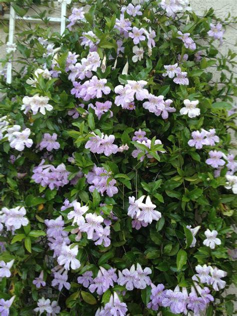 climbing plant purple flowers purple trumpet vine in bloom climbing flowers vines