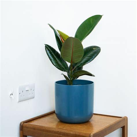 buy rubber plant ficus elastica robusta delivery