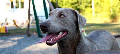 silver lab puppies for sale in va silver lab puppies for sale in va breeds picture