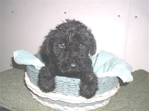 kerry blue terrier puppies for sale puppies for sale kerry blue terrier kerry blue terriers f category kerry blue