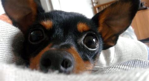 pinscher nano alimentazione pinscer nano carattere cuccioli e alimentazione