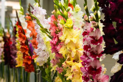Gladiolen In Der Vase gladiolen in der vase richtig anschneiden pflegen
