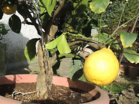 terriccio per limoni in vaso irrigare gli agrumi in vaso rivista di agraria org