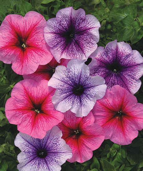 Brigita Pink Syari petunia hybrida multiflora nana