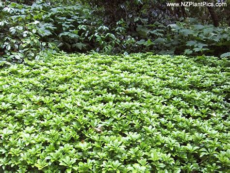 pachysandra terminalis useful low growing groundcover for shade or full sun in sun leaves