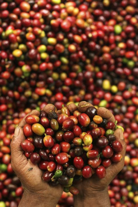 Coffee Bean Indonesia indonesia is projected to produce 12 million bags of